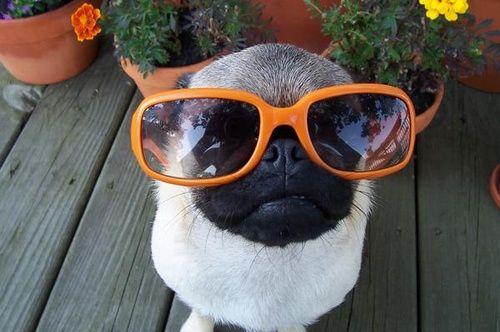 Pug striking a pose with hersunglasses…LOL
