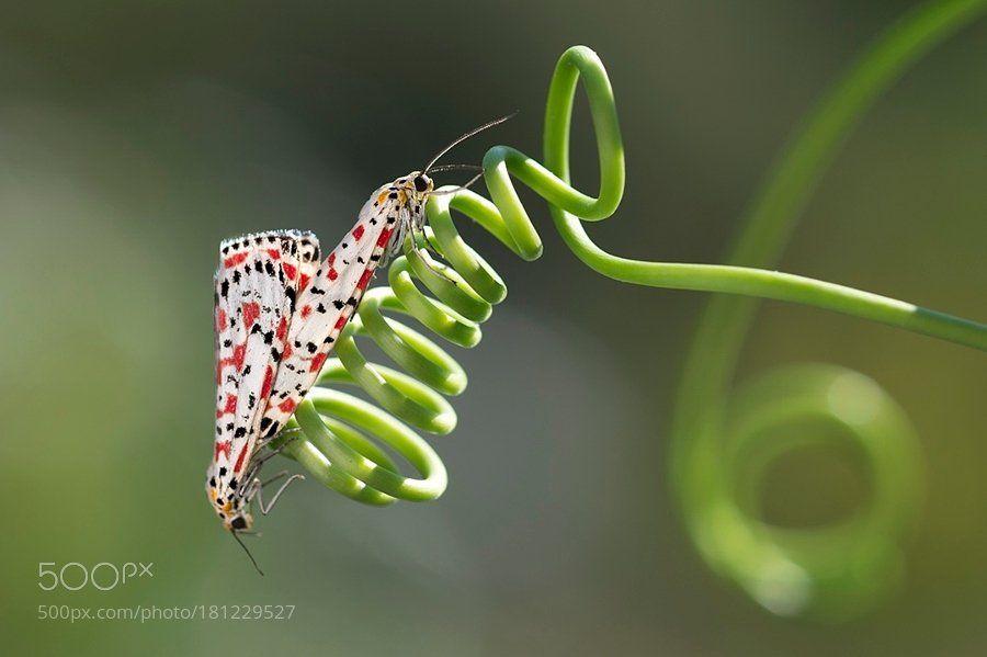 #photography Macro&Utetheisa pulchella by yilmazakar https://t.co/TgxWRklbfm #followme #photography