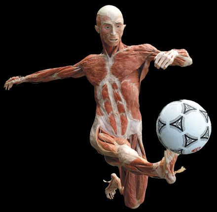 Body Worlds Is A Must See Perfectly Preserved Is The Best Way To Learn Body Works Exhibit Bodies Exhibit Human Body