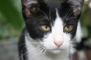 Jenis Kucing Peliharaan Persia Termahal Hutan Bengal Garfield Anggora Kucing Menggambar Kucing Kucing Siberia