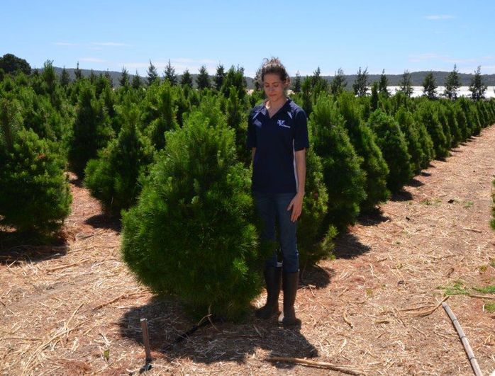 Buy Fresh And Real Christmas Trees From Swan Valley Farm Perth Or Have A Tree Delivered To Your Home Real Christmas Tree Fresh Christmas Trees Real Christmas