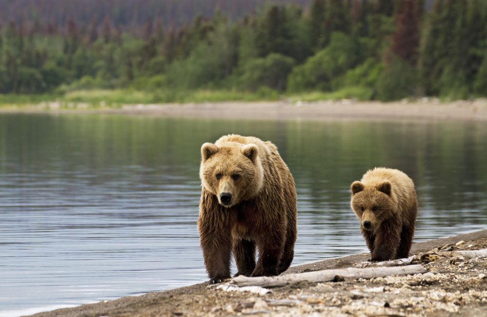 The Park Service is considering rules that will ban the worst hunting practices in Alaska's national parks. Urge the agency to follow through on the ban.