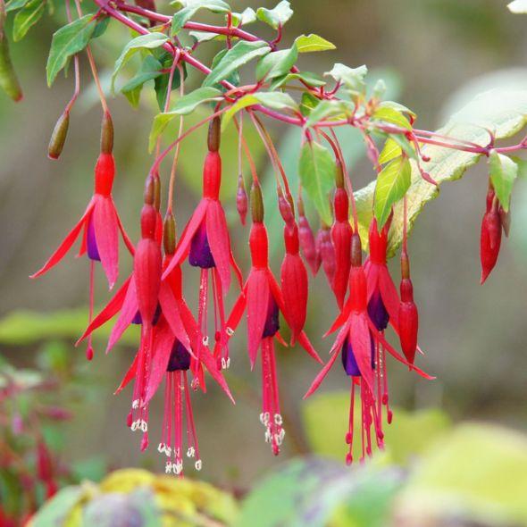 Fuchsia Magellanica Riccartonii In 2020 Fuchsia Plants Perfect Garden