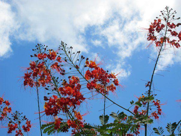 honolulu blooms