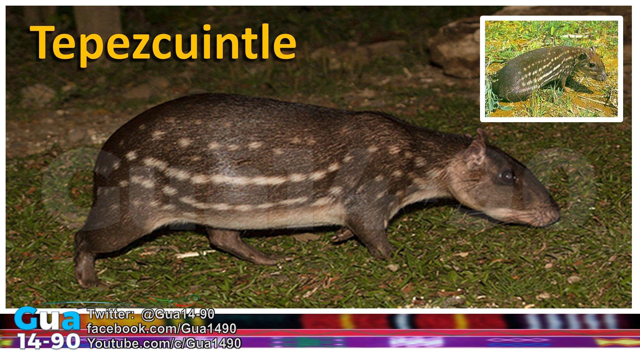 TEPEZCUINTLE. Animal considerado por los conquistadores ...