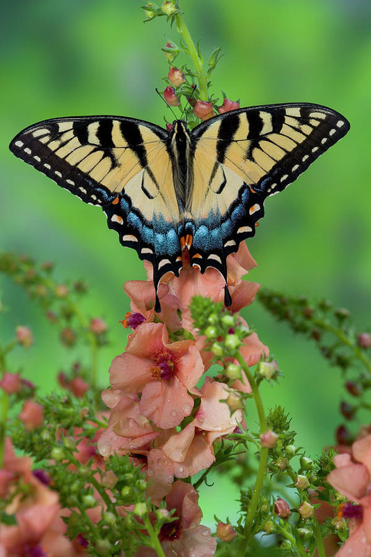 Eastern Tiger Swallowtail Butterfly Art Print by Darrell Gulin