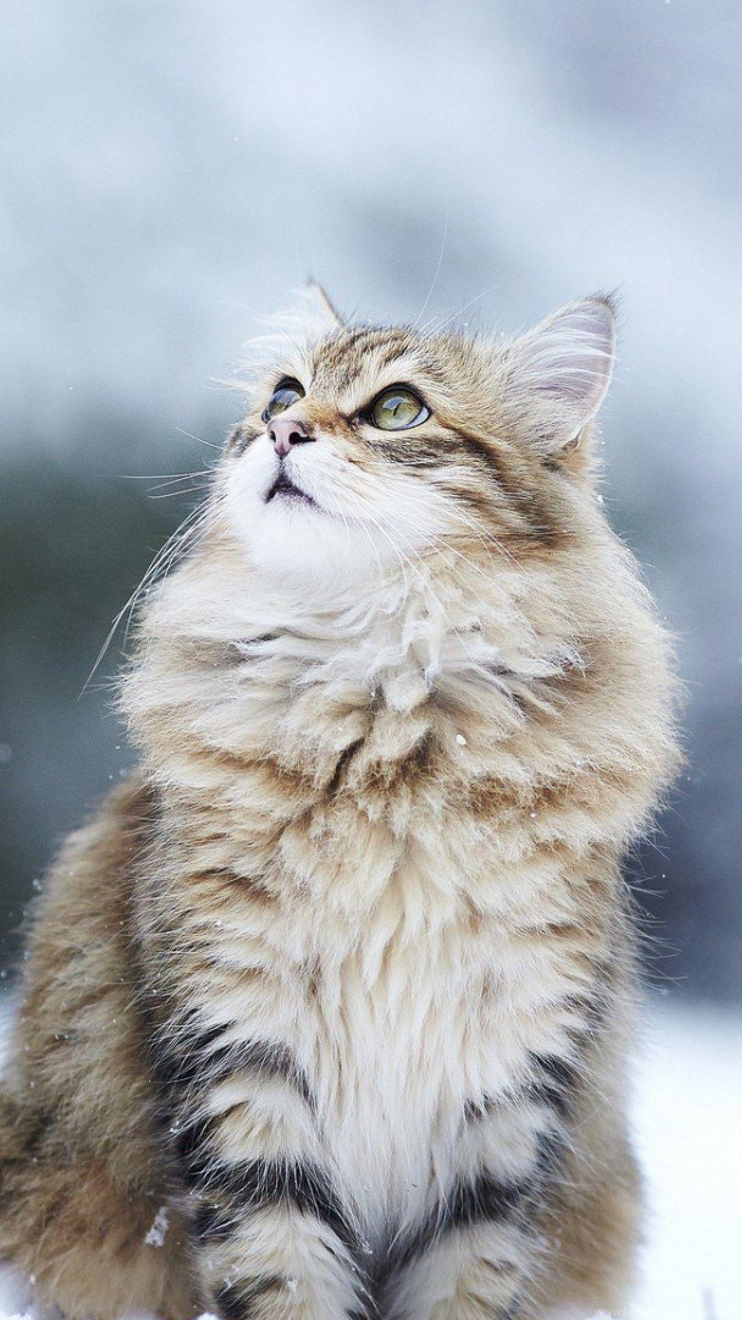 """Chat Norvegien ǾŽã—い猫 ÇŒ« Å""""ç¨® áインクーン"""