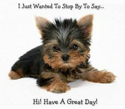 Cute Little Yorkie So Cute Pinterest Yorkie Puppies And Dogs