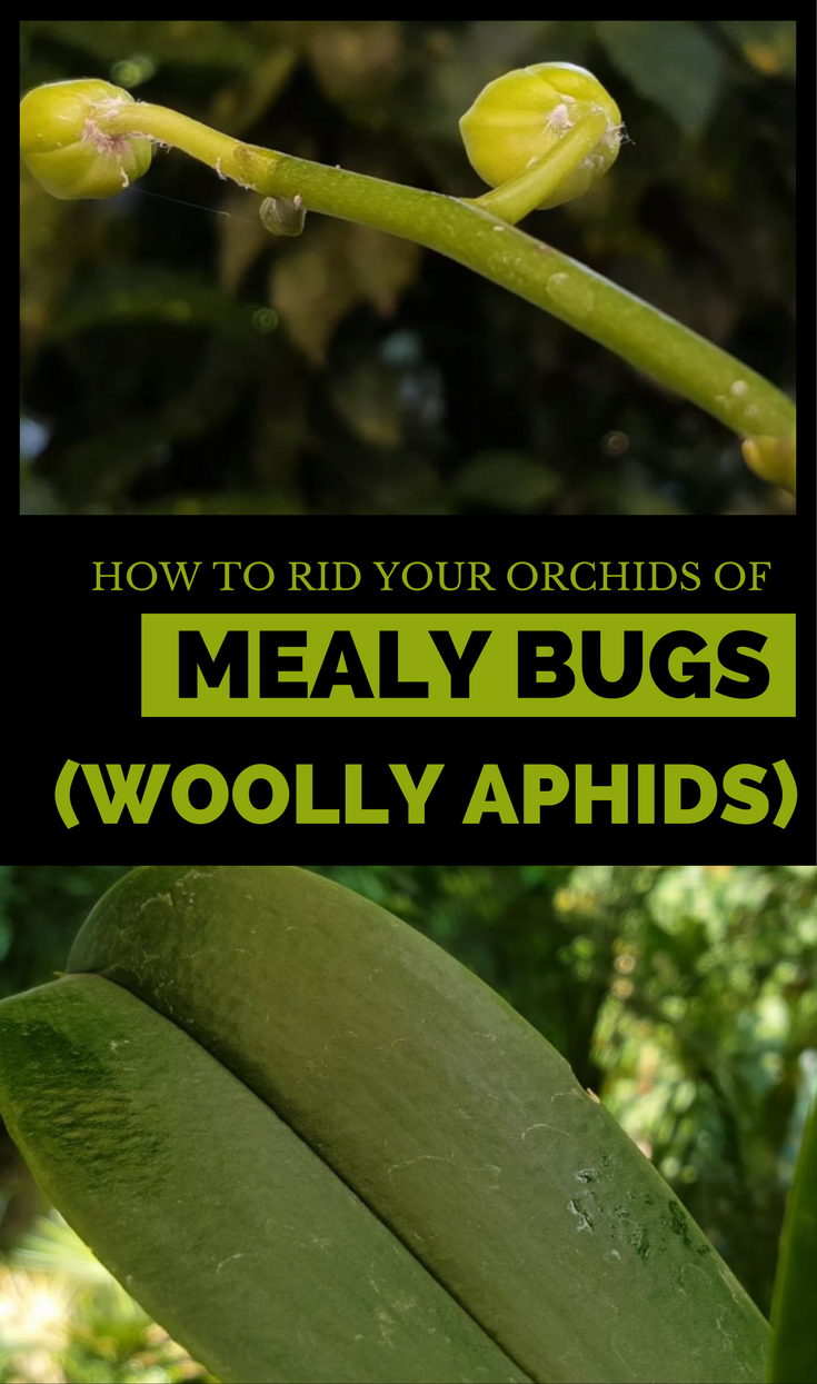 Learn How To Rid Your Orchids Of Mealy Bugs Woolly Aphids For Good