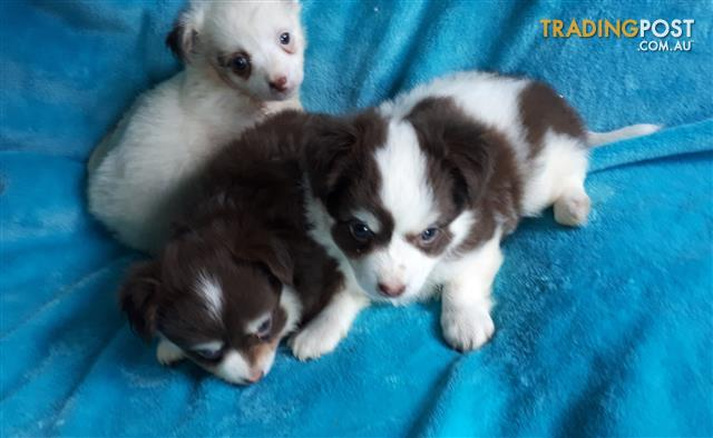 ChihuahuaPupsforsale in 2020 Puppies for sale
