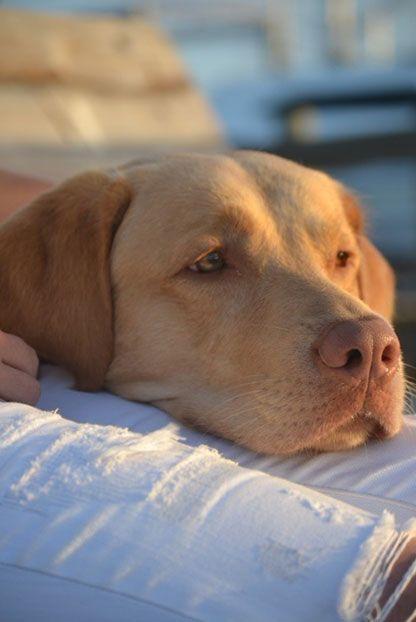 Guiness A Labrador Retriever From Kissimmee Florida Labradors