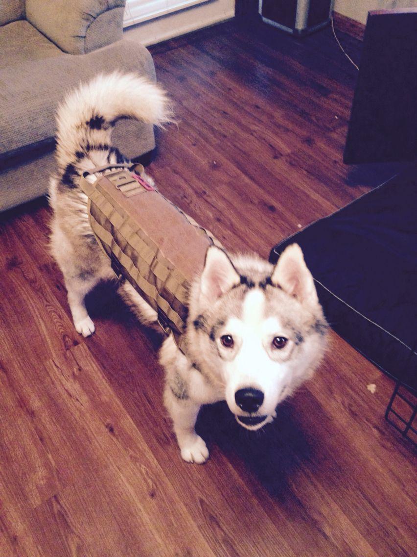 Tactical Husky Puppies Husky Dogs