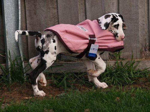 Harlequin Great Dane puppy.