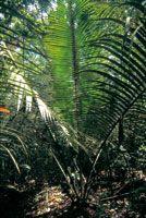 En las caatingas se encuentra una gran diversidad de palmas en el sotobosque, como el cumare. el corozo y la yagua.