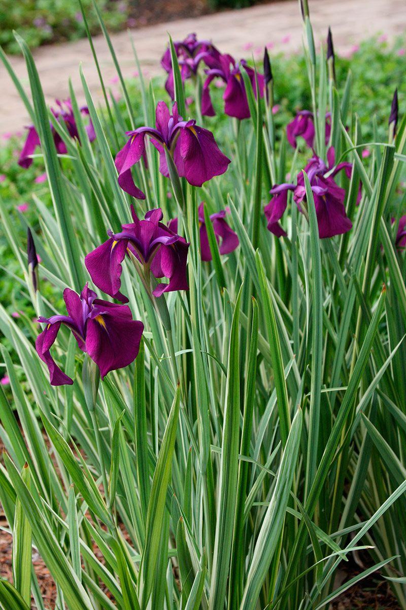 Episode 16 Plant This Not That Finegardening Japanese Plants Rain Garden Design Rain Garden