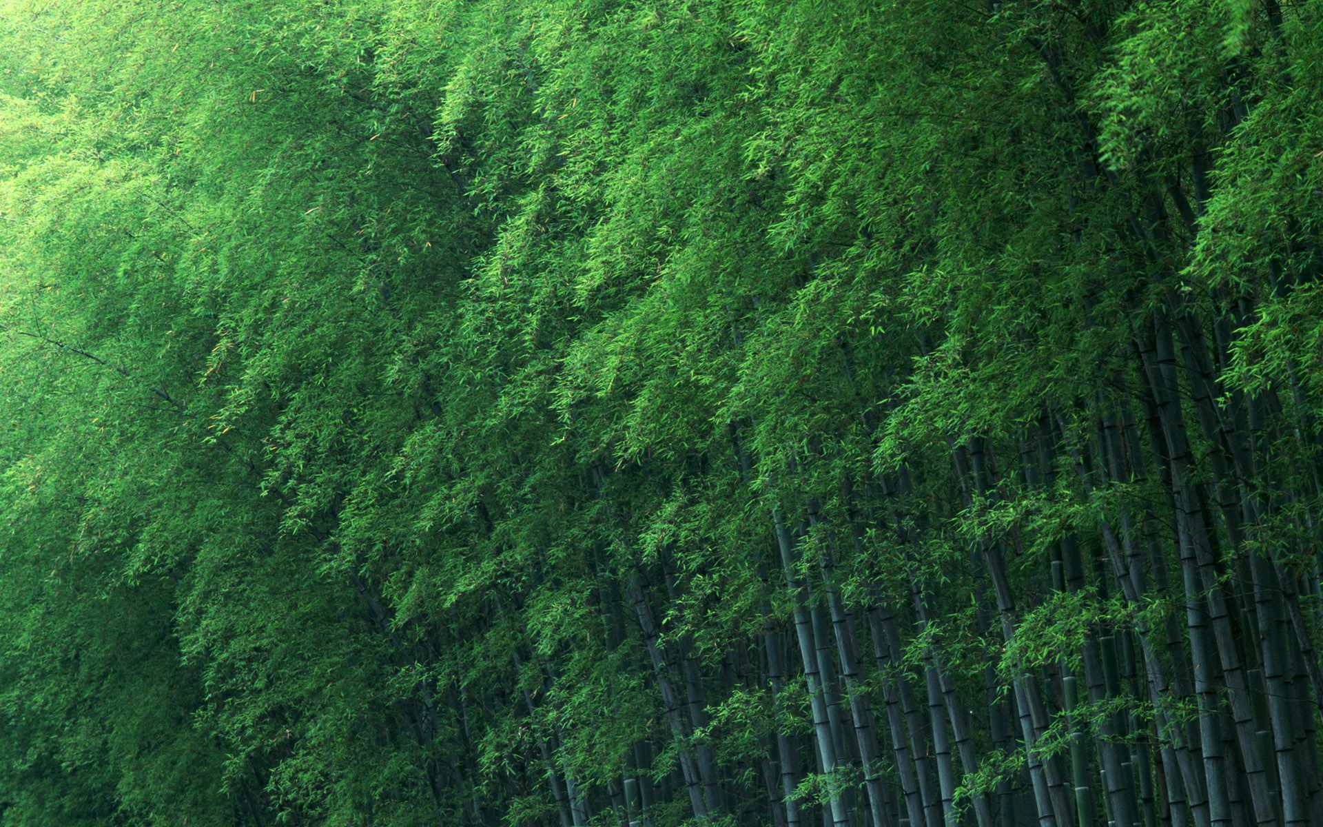 Download Free Wallpapers Most Viewed High Quality Backgrounds Bamboo Wallpaper Bamboo Background Bamboo Forest
