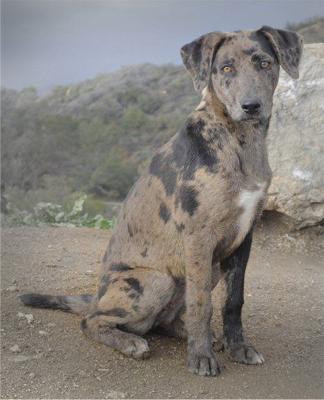 Good Names For Catahoula Leopard Dogs