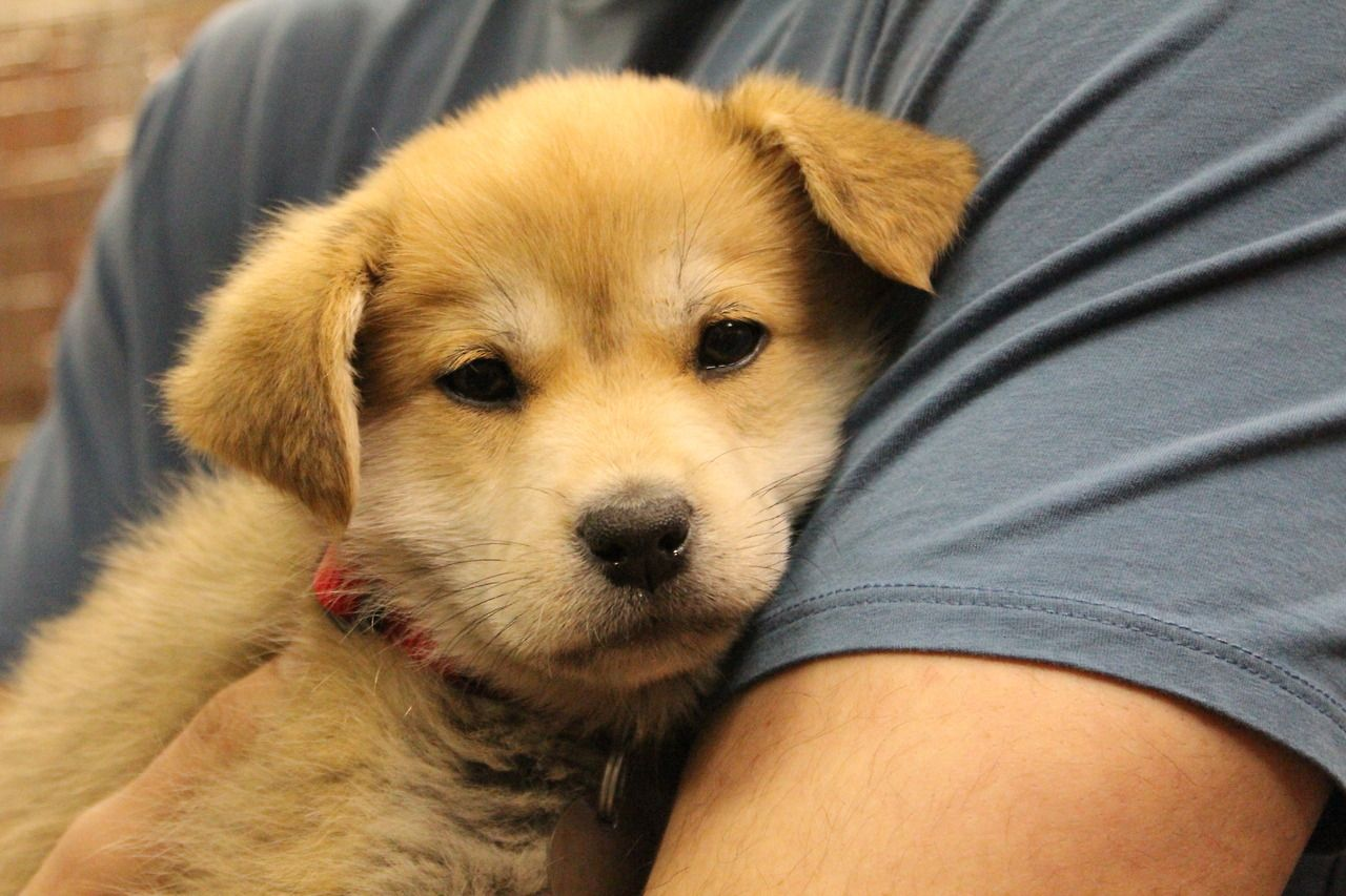 Jiva is a Shiba Inu / Yellow Labrador Retriever mix puppy