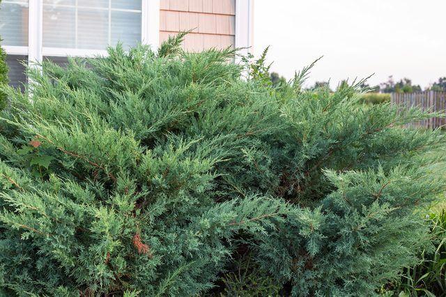 How To Trim Juniper Shrubs Hunker Juniper Shrub Juniper Plant Juniper Bush