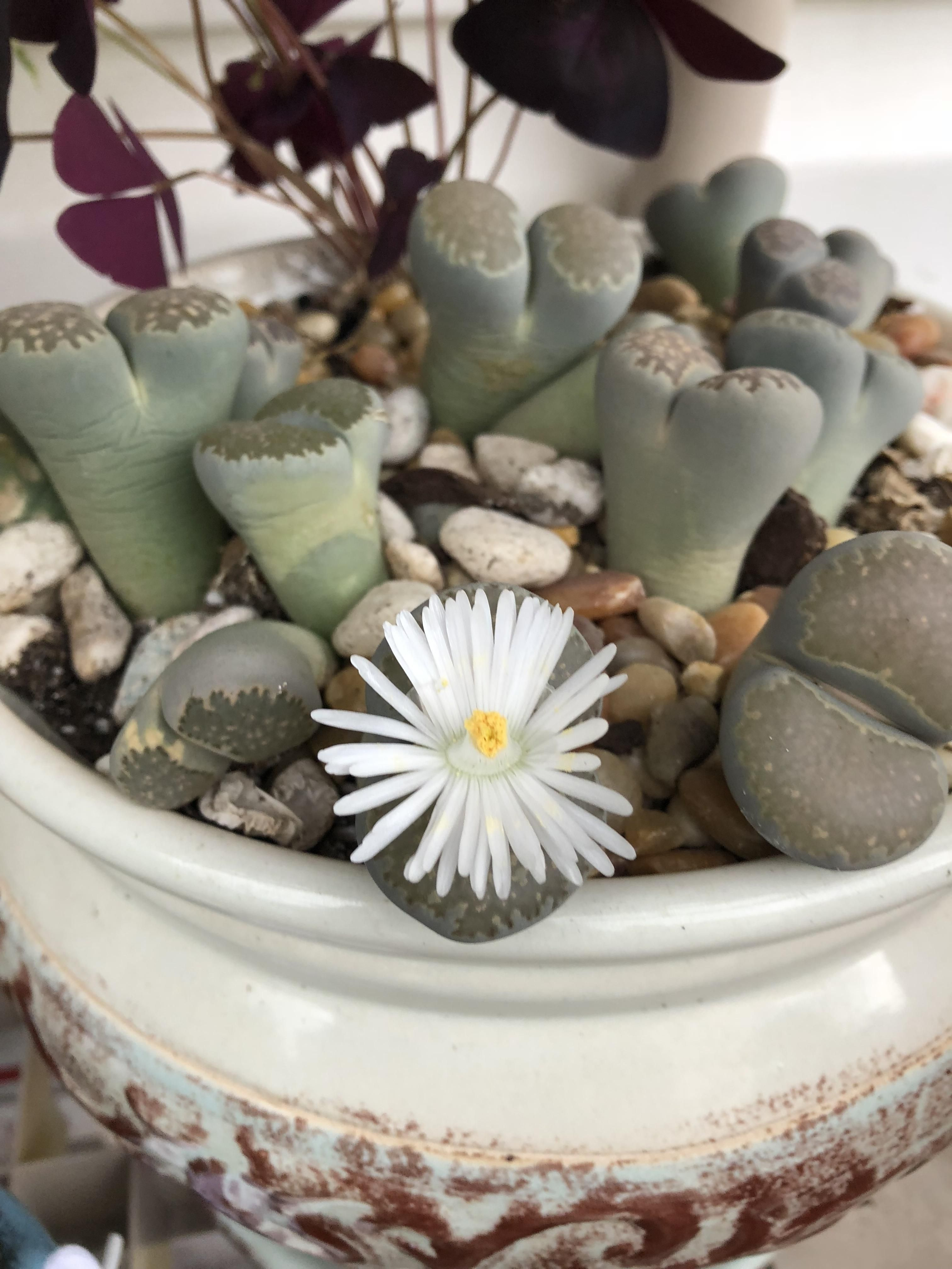 Living stones - flowers that can surprise