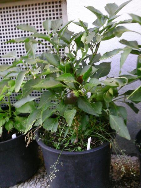paprika pflanzen 39 california wonder 39 ca 1 jahr garten. Black Bedroom Furniture Sets. Home Design Ideas