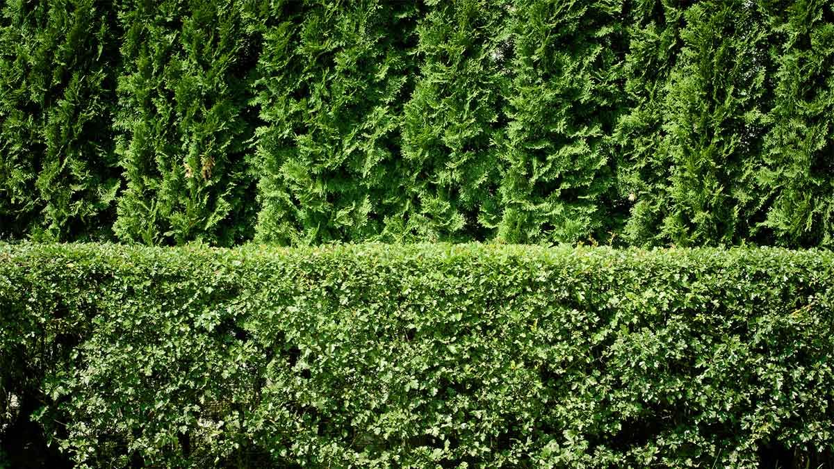 Fast Growing Shrubs Make Great Hedges For A Privacy Screen Or To Hide Eyesores Here S Advice Fence Plants Privacy Plants Privacy Hedge