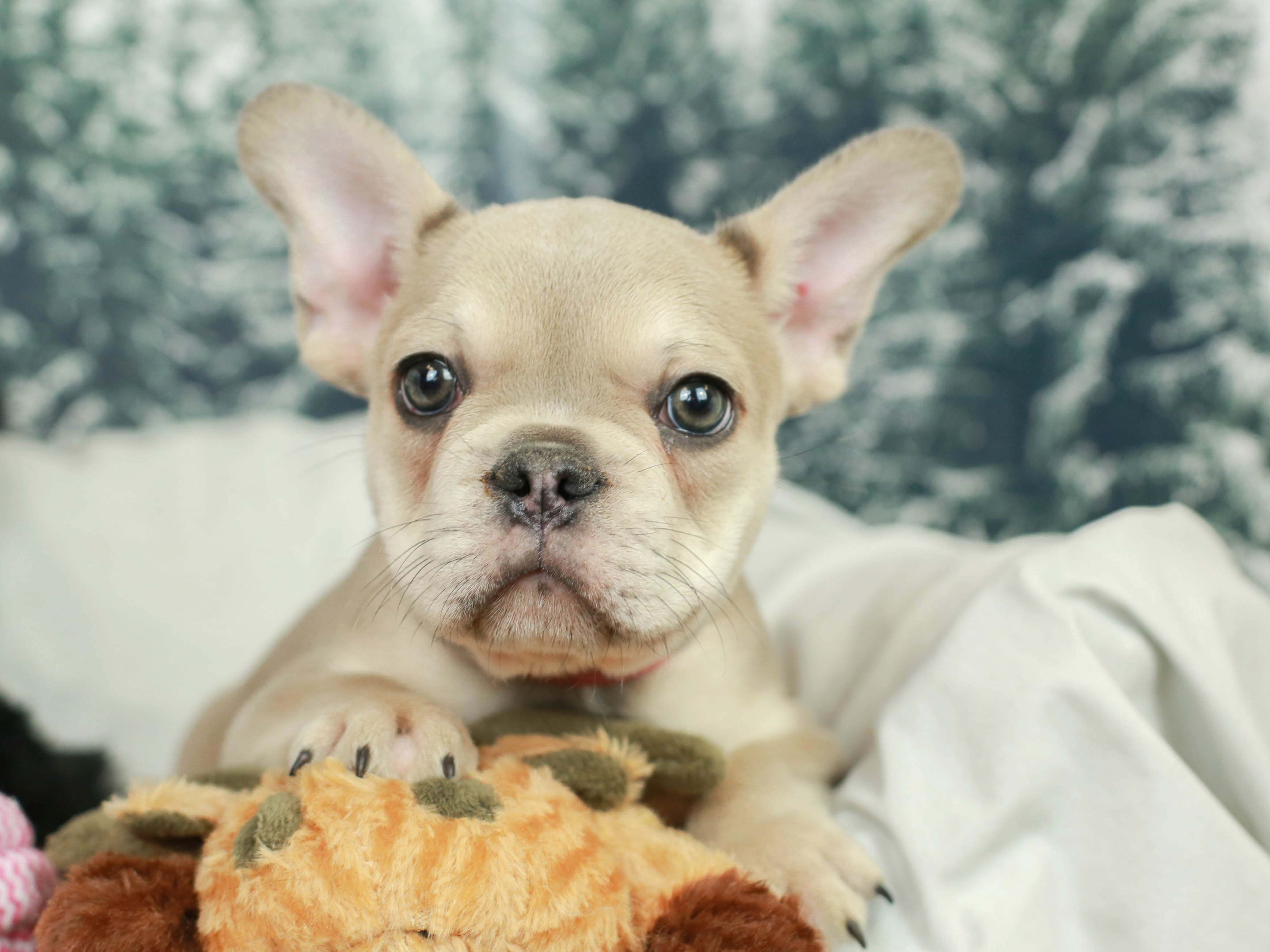This French Bulldog puppy is super sweet and