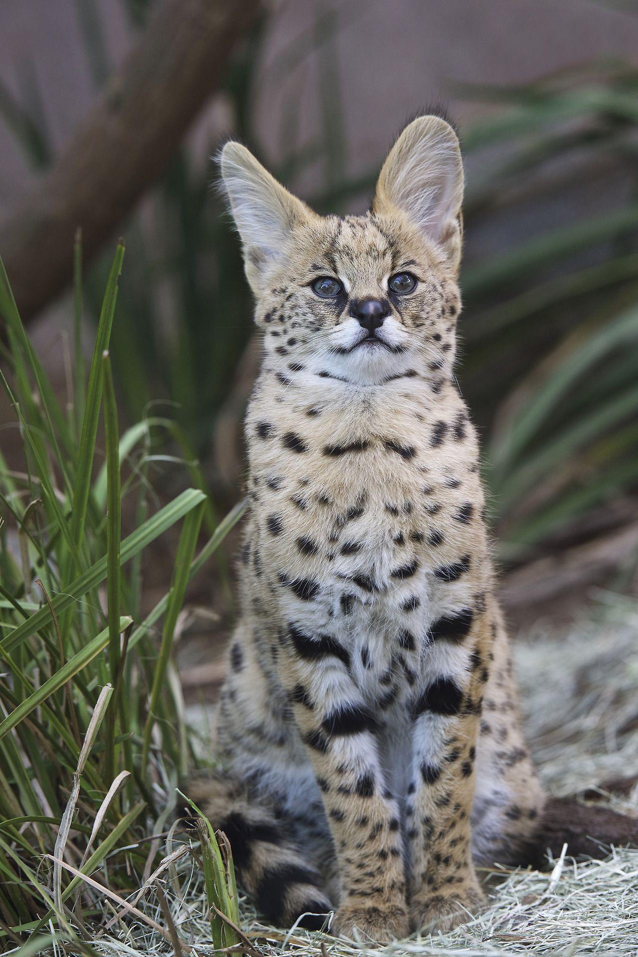 San Diego Zoo  Kamari the serval kitten.