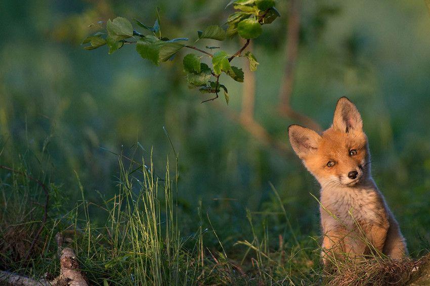 Uma raposa vermelha