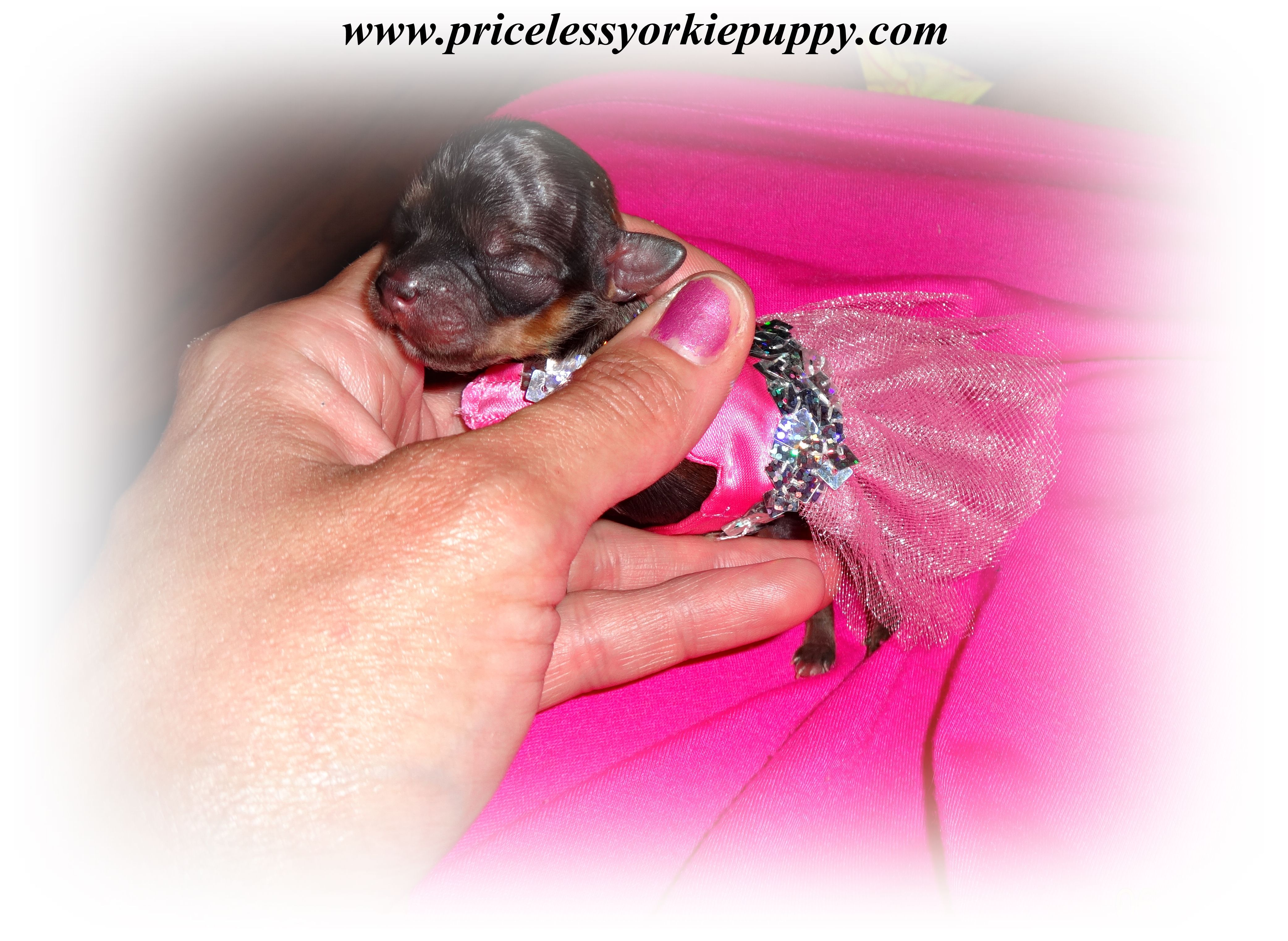 Michigan Teacup Yorkshire Terrier Puppy Breeder Tiny Teacup