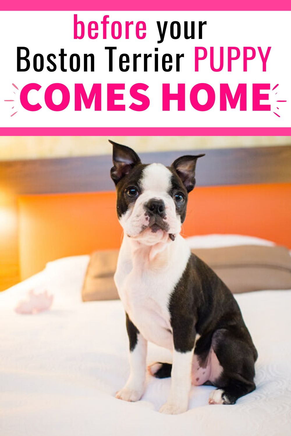 How To Get Ready For A Boston Terrier Puppy In 2020 Boston Terrier Puppy Boston Terrier Terrier