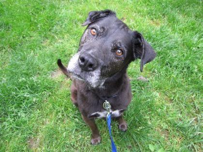5 / 11     ***SENIOR*** Petango.com – Meet Natasha, a 8 years Retriever, Labrador / Shepherd available for adoption in LYNNWOOD, WA Address  15305 44th Avenue W, LYNNWOOD, WA, 98087  Phone  (425) 787-2500  Website  http://www.paws.org  Email  info@paws.org