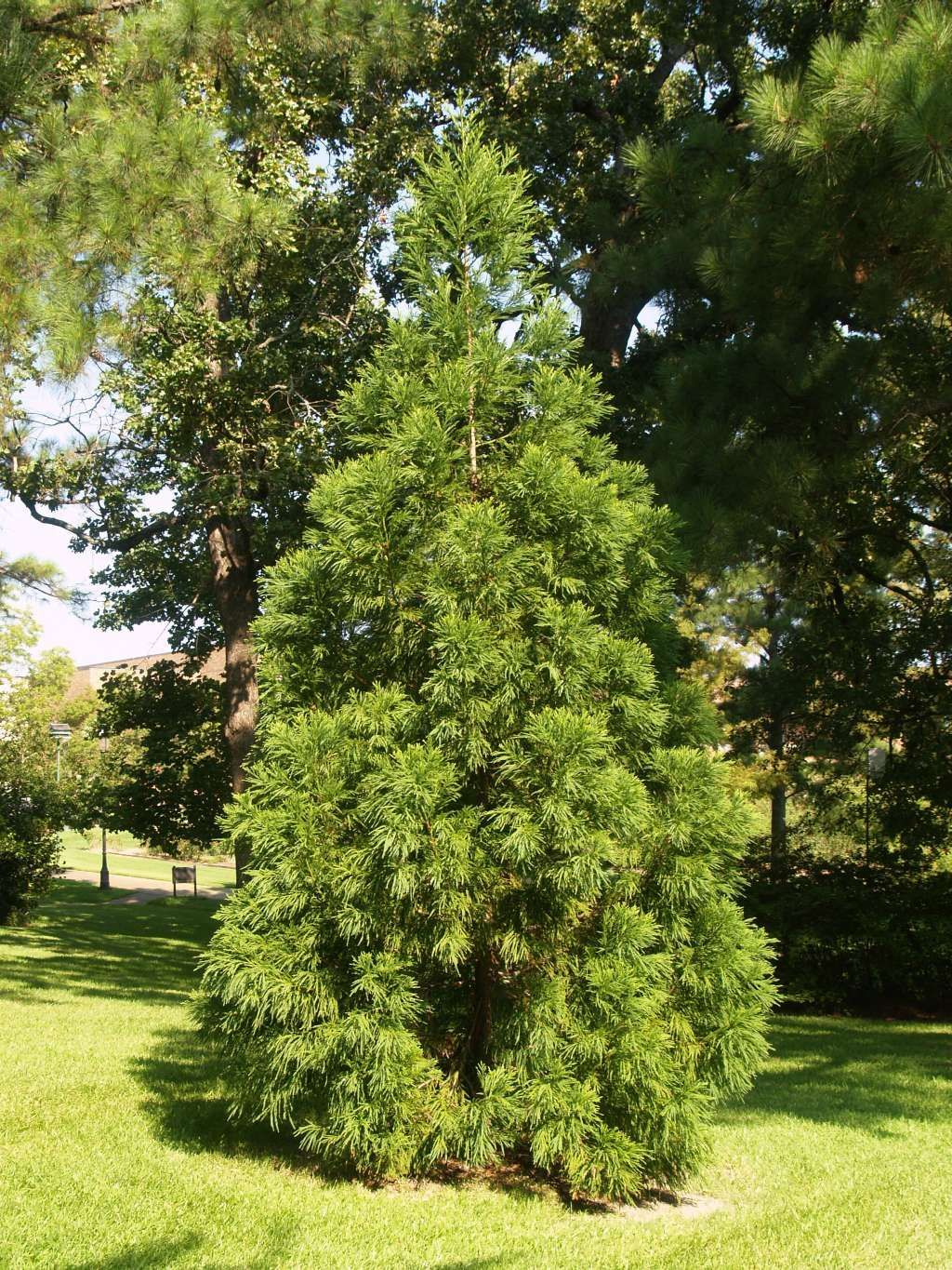Splendid Japanese Cedar Trees For A Landscape With Images