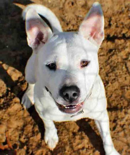 Sasha The Husky American Bulldog Mix Mixed Breed Dogs Bully