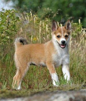 Norwegian Lundehund Nordic Dog Breed Rare Dog Breeds Norwegian Lundehund Dog Breeds