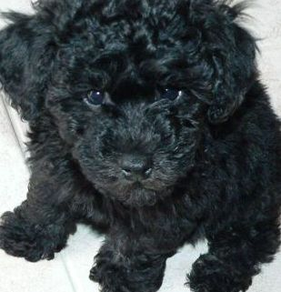 Miniature Poodle Puppy This Is My Little Guy Dre Looks Just