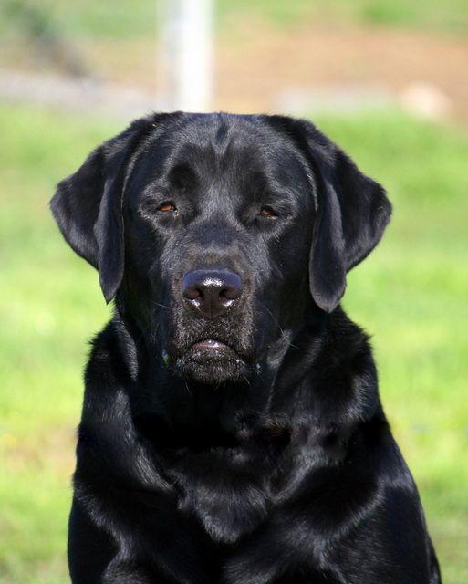 Intl Ch Morojes Jet Black Cheyanne Annie Labrador Labrador Breeders Black Labrador