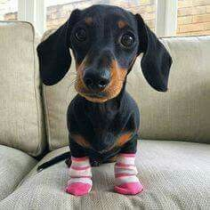 Dachshund In Socks Cute Dogs Puppies Cute Puppies