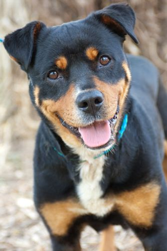Pitweiler Rottweiler Pit Bull Terrier Mix Dogs And Puppies