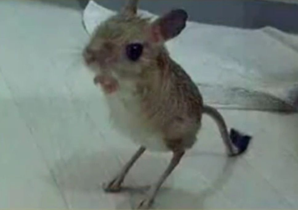 baby kangaroo mouse cuteness