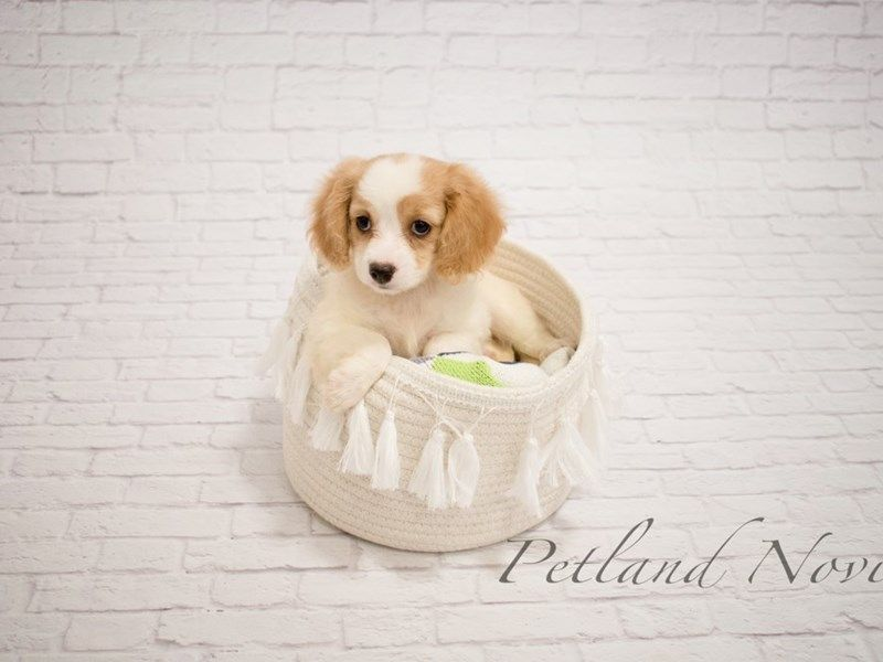 Petland Novi / Detroit Michigan puppies for sale and ready