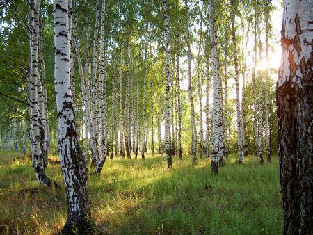 Koivikko. Birch trees.