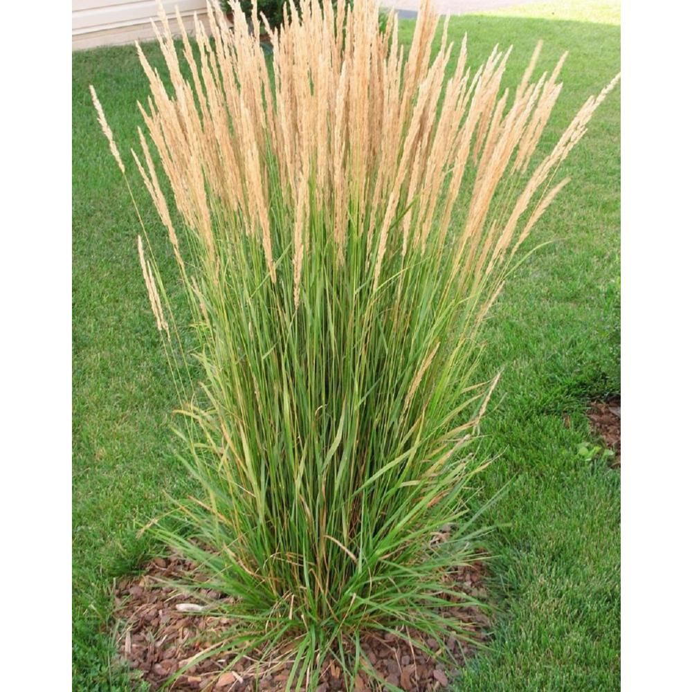 Pin By Chelsey On Yard In 2021 Grasses Landscaping Ornamental Grasses Feather Reed Grass