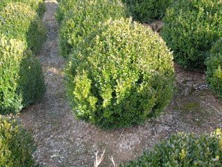 Boxwood American - removed 2016#american #boxwood #removed#2016american #american #boxwood #removed