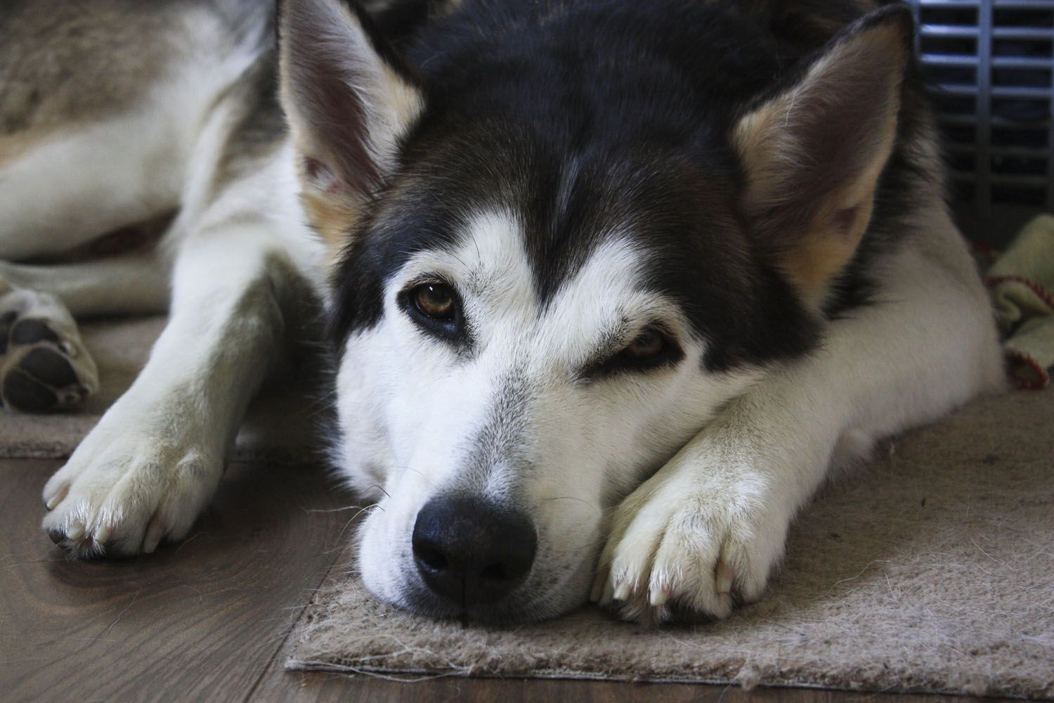 Fireborn Northern Inuits Breeders Of Northern Inuit Dog In The Uk