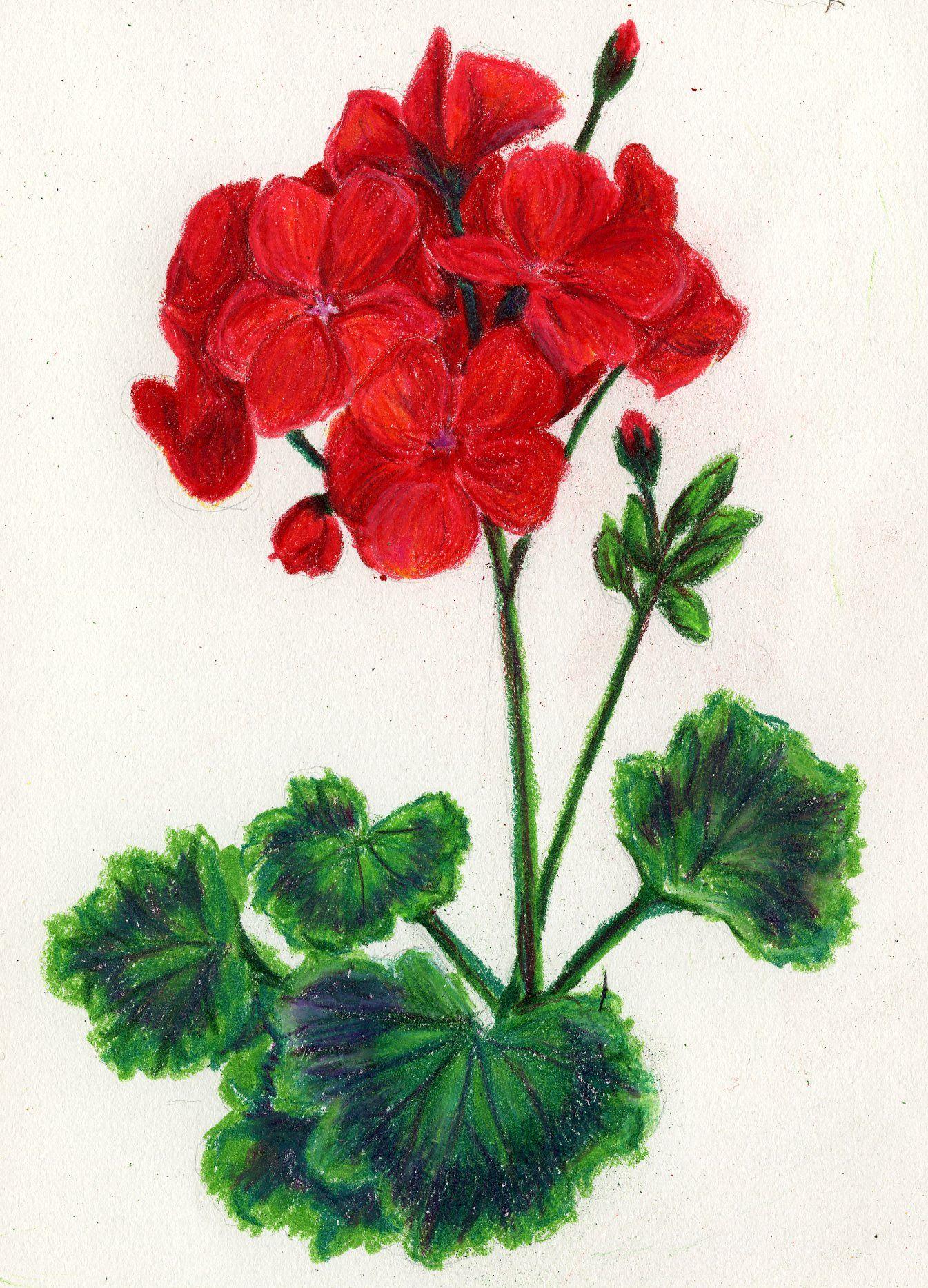 geranium colored pencil