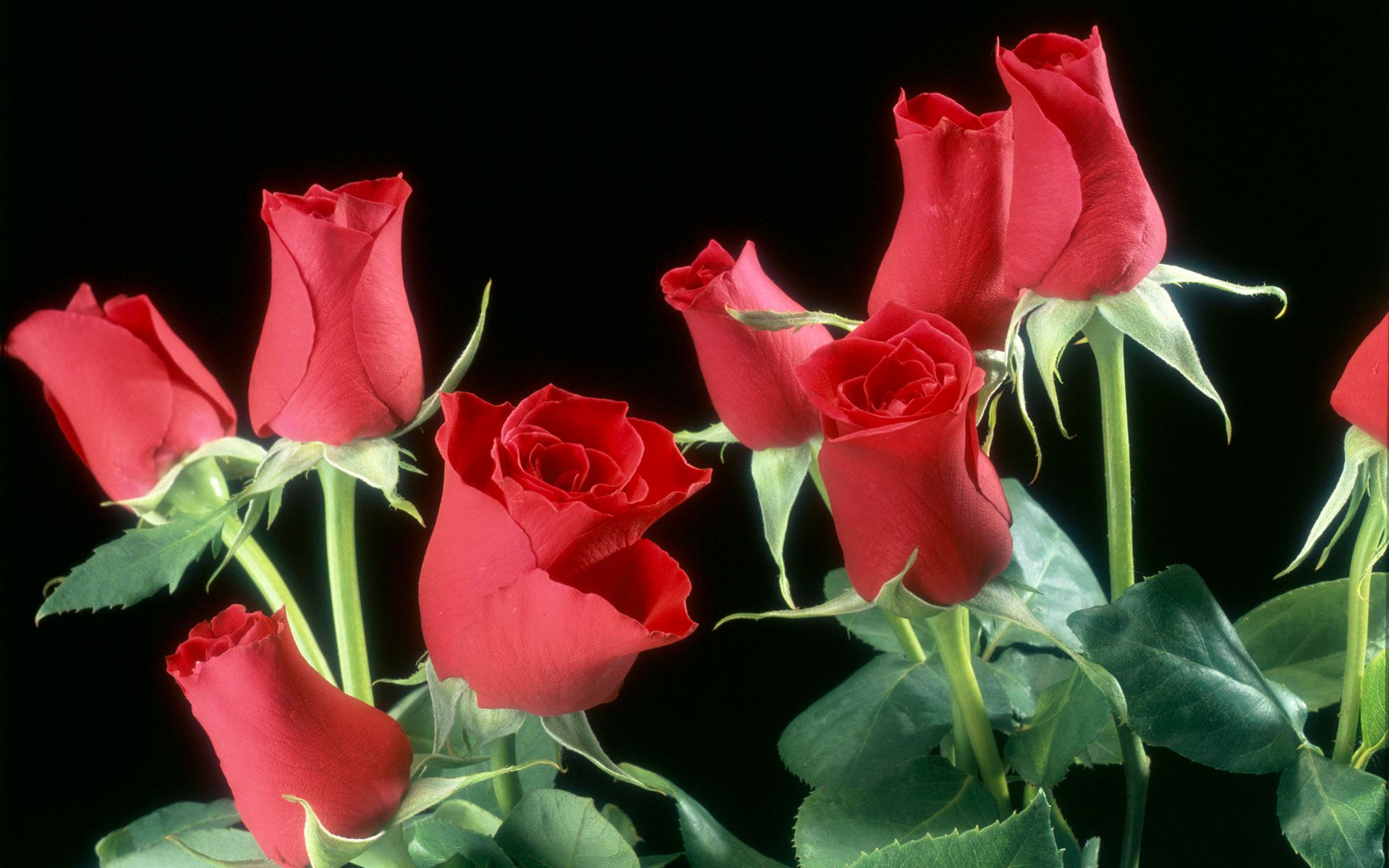 Pink And Red Designs Background With Roses | Red Roses Flowers HD ...