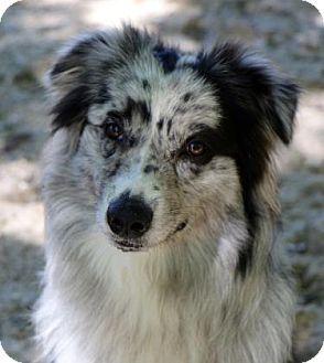 Pin By Cheryl Law On Dogs I Like Australian Shepherd Dogs Pets