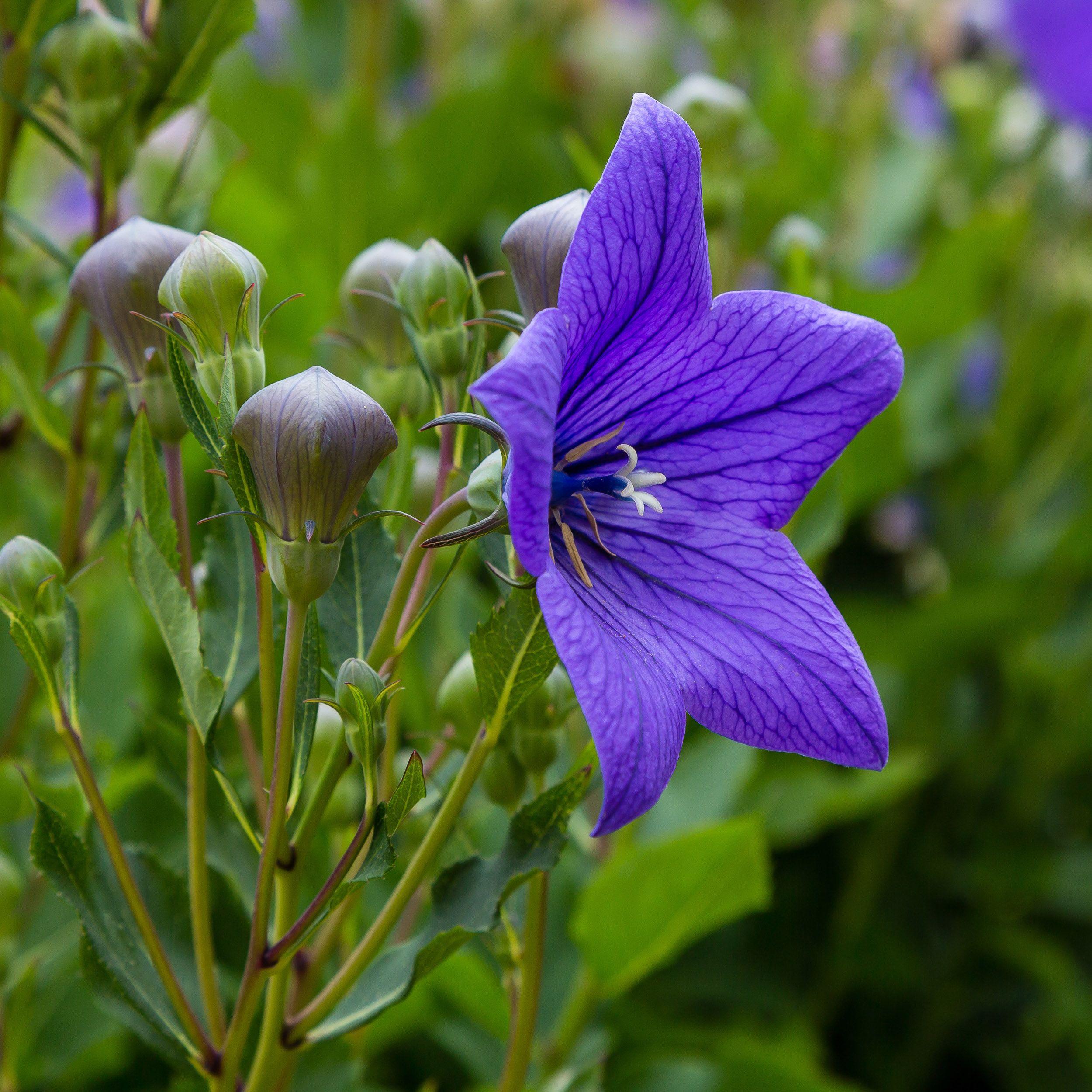 Ballon flower seeds platycodon grandiflora blue flower