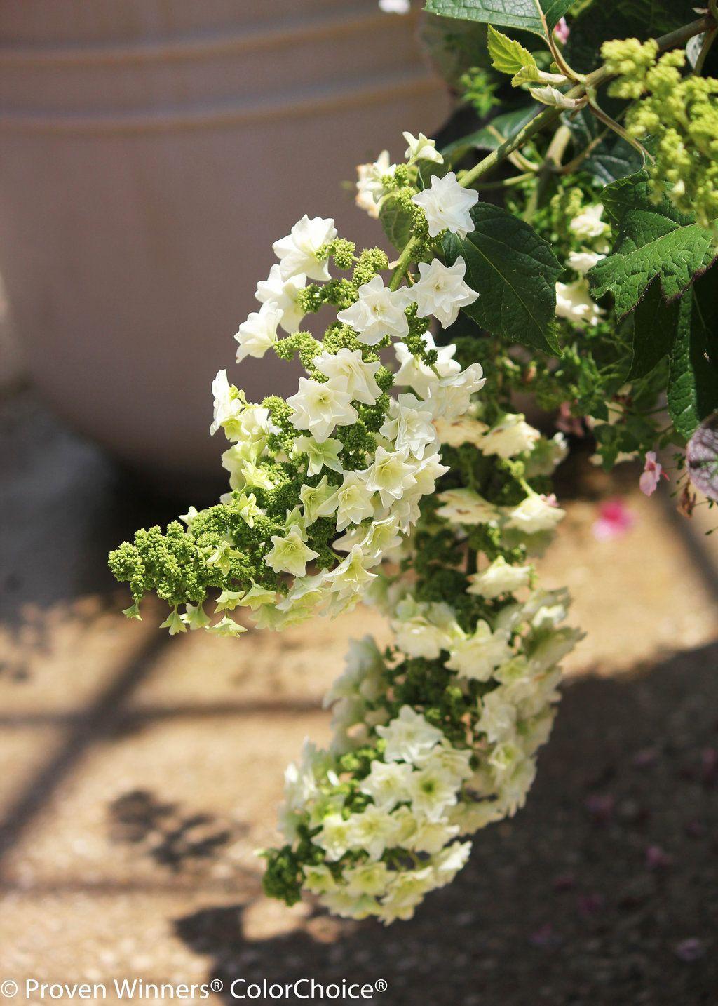 Gatsby star oakleaf hydrangea hydrangea quercifolia for Hydrangea quercifolia